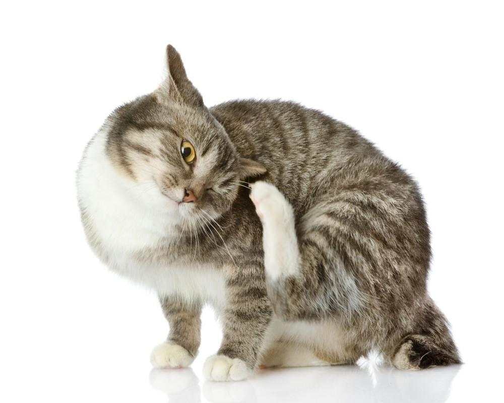 lízanie Veľká mačička